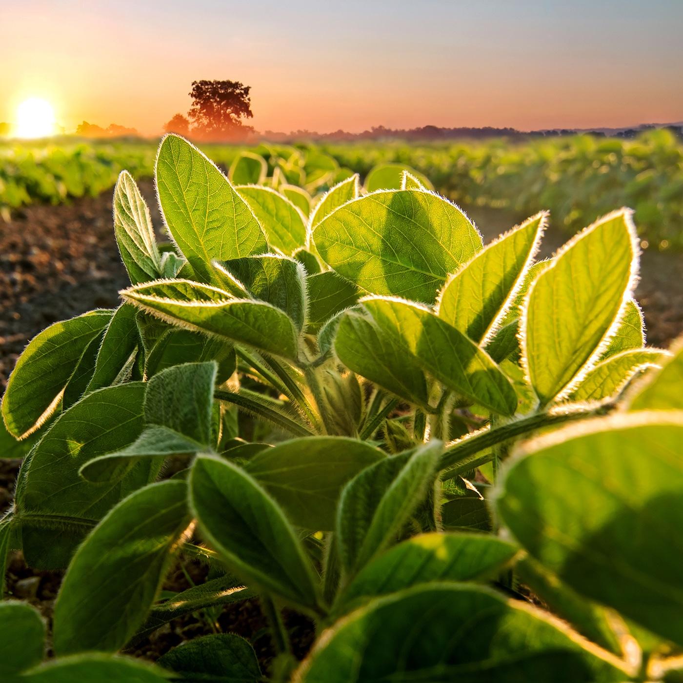 SOJA-SAATGUT: Keimfähigkeiten von über 90 % – alles für Ihren Ertrag!